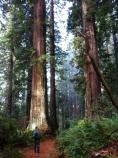 A park ranger glazes upward at ancient coast redwoods (Sequoia sempervirens) on the Berry Glen Trail.