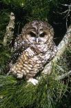 Spotted owl sitting in a redwood tree.