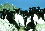 Common murres (Uria aalge) on Castle Rock near Crescent City, Calif.