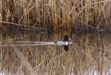Ring-necked duck (Aythya collaris) swimming in marsh.