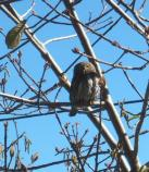 Northern pygmy-owl (Glaucidium gnoma) sitting in a tree.