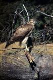 Red-tailed hawk (Buteo jamaicensis) are commonly sited in the upland prairie and oak woodland habitat of the Bald Hills.