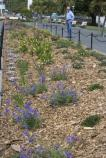 First Bloom Native Plant Garden in Aquatic Park