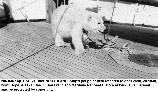 Pet polar bear on a US Coast Guard vessel circa 1930 in Alaska