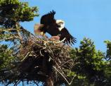 A bald eagle arrives with dinner at its nest in the American Camp visitor center.