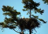 Bald eagle with eaglet at American Camp visitor center.