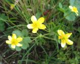 Western buttercups at American Camp.
