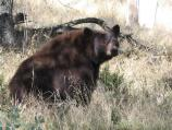 This black bear was taking a break from munching acorns in the Foothills of Sequoia National Park