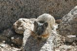 Very cute Pika with grass in it's mouth in the high sierra of Sequoia and Kings Canyon National Parks