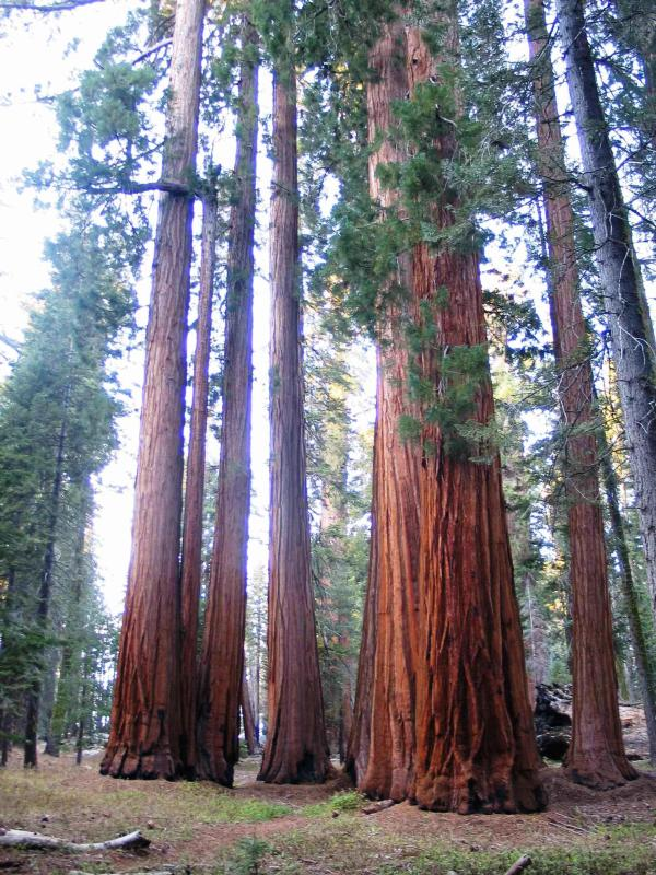 cluster of sequoias