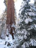 snow on sequoia trees in Grant Grove during Trek to the Trees event 2006