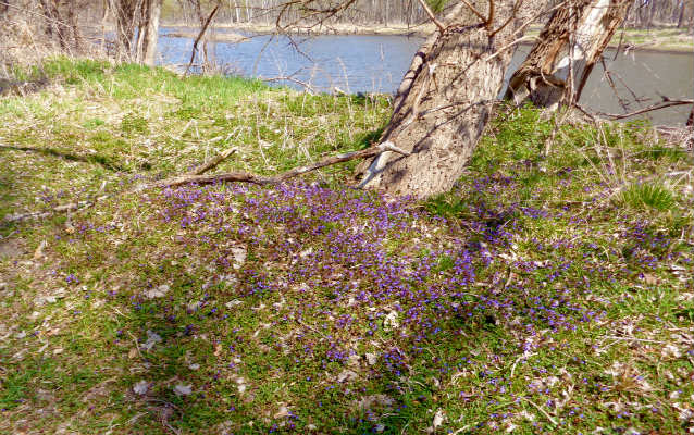 Purple flowers blooming with the Missouri River in the background
