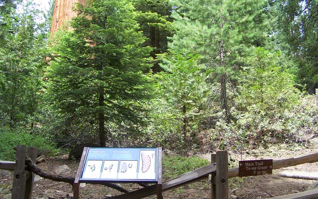 An exhibit panel in a sequoia grove that shows cones of different tree species