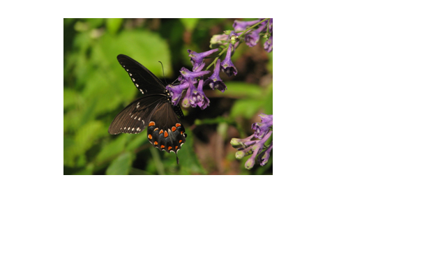 A spicebush swallowtail visits a blooming tall larkspur