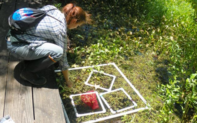 Image of research bending down from boardwalk toward plastic squares floating in plant-covered water