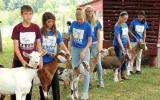 Six youth volunteers work on showmanship skills with dairy goats