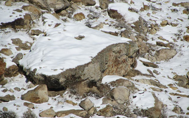 Can you find the bobcat in this photo?