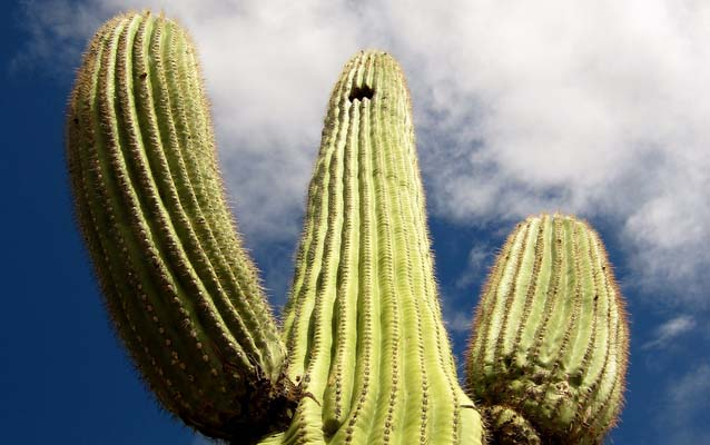 Photograph of a saguaro cactus, looking upwards from the base towards a cloudy sky.