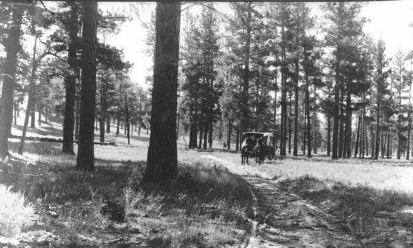 Open structure of ponderosa pine forest in 1909 near Grandview Point, Grand Canyon National Park.