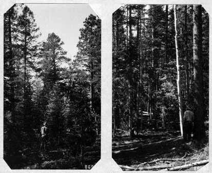 Mixed conifer forest in 1909-1910 on the Kaibab Plateau, northern Arizona.