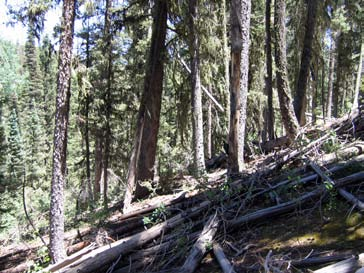 Spruce-fir forest. Downed dead trees in foreground show a recent decrease in density.
