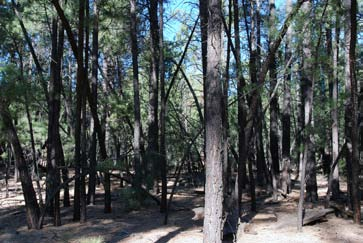 Dense stand of ponderosa pine forest after more than a century of fire exclusion.