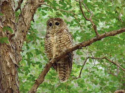 "The Mexican spotted owl, federally listed as ""threatened,"" is intolerant of warm temperatures."