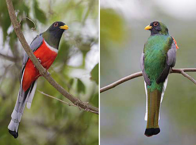 Side-by-side photos of elegant trogons showing their red breast (left) and green back (right)
