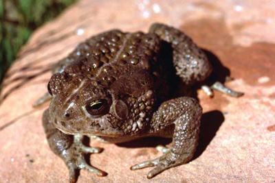 Woodhouse's toad atop a reddish rock