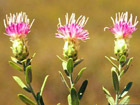Russian knapweed (Acroptilon repens) is an invasive plant that has invaded the Southern Plains