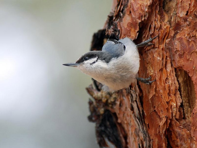 The pygmy nuthatch may lose enough of its long-needled pine habitat to drive it close to extinction.