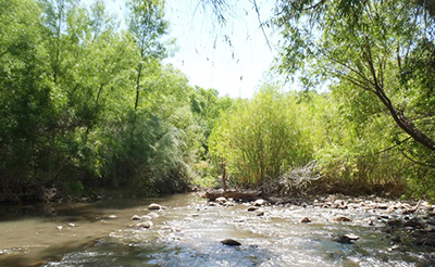 Cuckoo breeding habitat on the Verde River in Arizona, showing a dense willow thicket in the center.