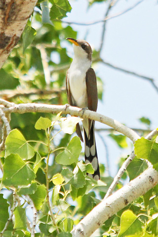 Western Yellow Billed Cuckoo At Montezuma Well Arizona