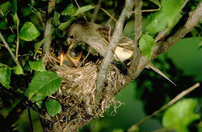 Southwestern willow flycatcher at nest