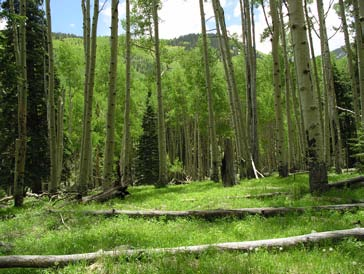 Quaking aspen forest with in-growth of young conifers on the San Francisco Peaks in northern Arizona