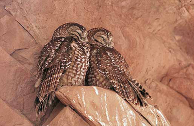 Mexican spotted owls are also found in steep, narrow canyons where cliffs and water are present