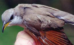 Yellow-billed cuckoo.