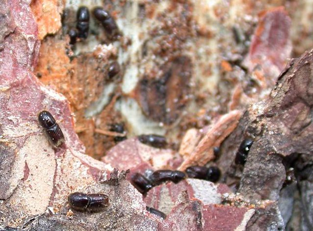 Pinyon Ips beetles increase in numbers during droughts and attack already struggling pinyon pines.