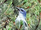 Pinyon jays are among the birds responsible for dispersing pinyon seeds.
