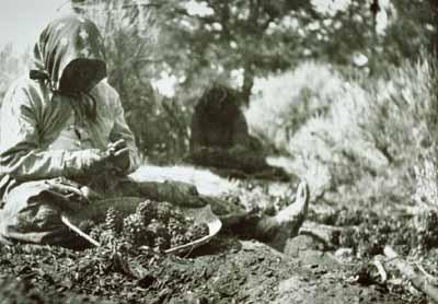 Harvesting pinyon nuts, an important source of nutrition for early residents of the Southwest.