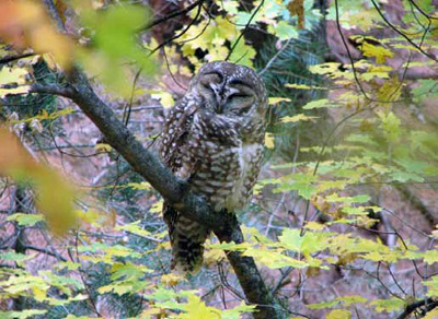 Madrean pine oak, encinal oak, and riparian woodlands provide habitat for Mexican spotted owls