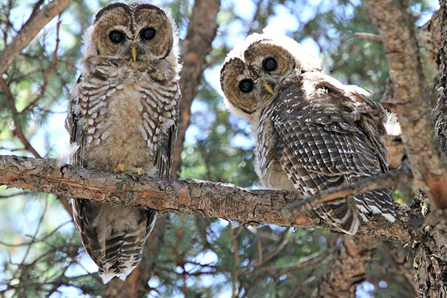 Mexican Spotted Owl (U...