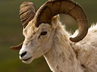 Close up of sheep face and horns