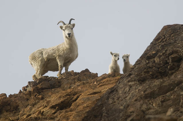 A ewe and two lambs stand on a rocky cliff