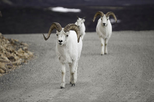 A group of three dall sheep walk down a dirt road