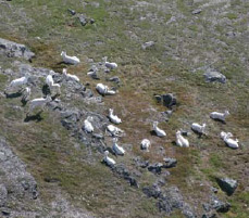 Aerial image of a group of white colored sheep on a mountaintop
