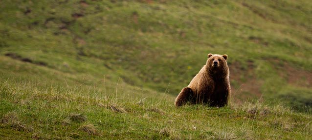 large brown bear sitting on a hillside