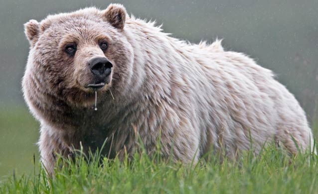 a large grizzly bear standing in grass, with a drip of saliva from its mouth