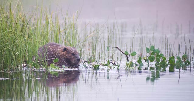 beaver in shallow water chewing on a tree branch