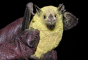 A Lesser long-nosed bat covered in yellow pollen is held in leather-gloved hand